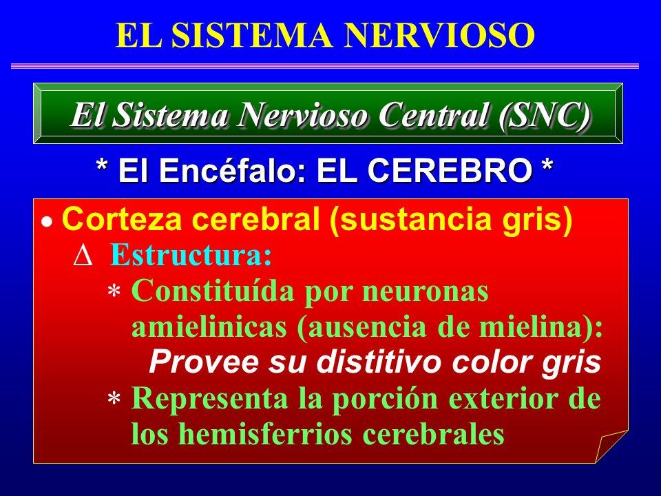 Corteza cerebral (sustancia gris) Estructura: Constituída por neuronas amielinicas (ausencia de mielina): Provee su distitivo color gris Representa la