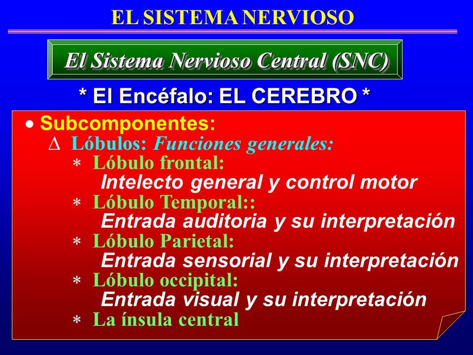 Subcomponentes: Lóbulos: Funciones generales: Lóbulo frontal: Intelecto general y control motor Lóbulo Temporal:: Entrada auditoria y su interpretació
