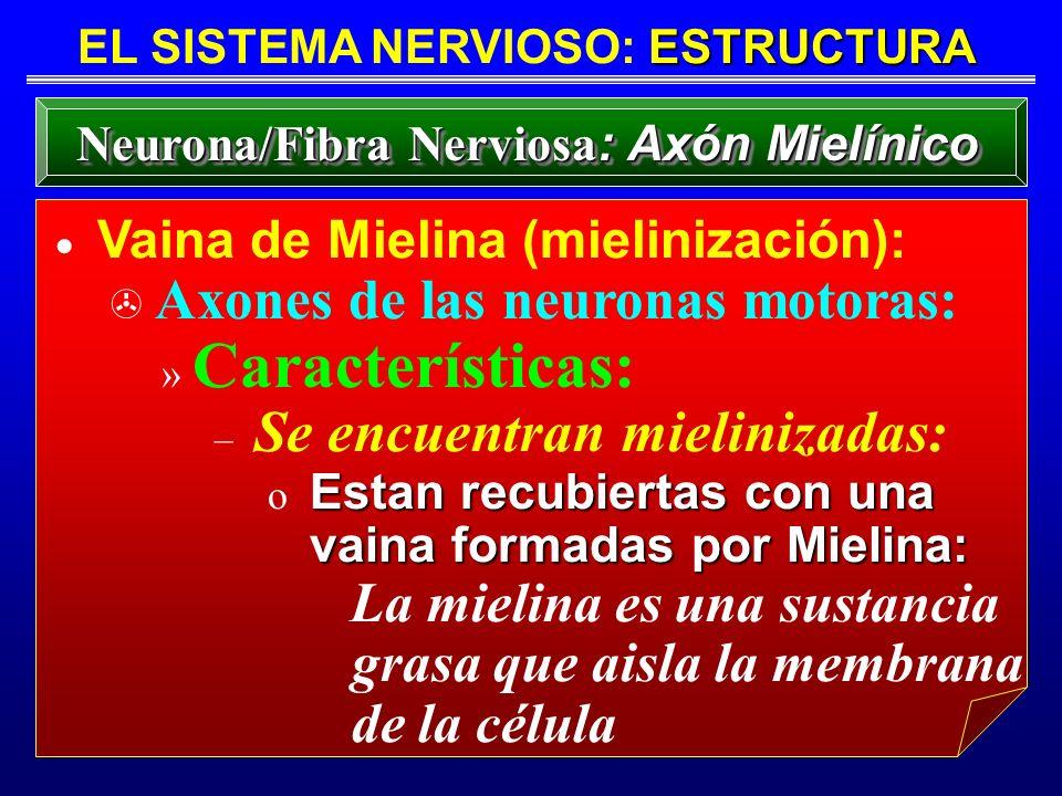 ESTRUCTURA EL SISTEMA NERVIOSO: ESTRUCTURA Neurona/Fibra Nerviosa : Axón Mielínico Vaina de Mielina (mielinización): > Axones de las neuronas motoras: