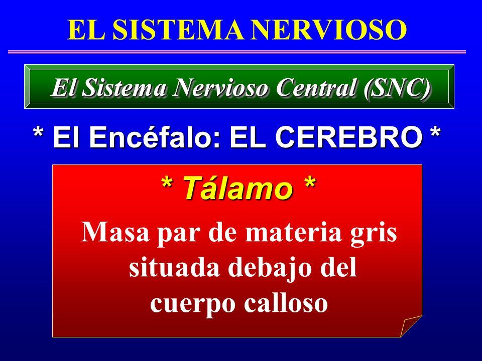 * Tálamo * * Tálamo * EL SISTEMA NERVIOSO * El Encéfalo: EL CEREBRO * El Sistema Nervioso Central (SNC) Masa par de materia gris situada debajo del cu