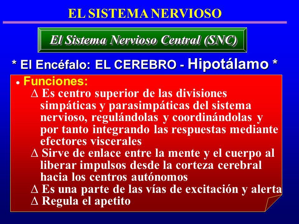 Funciones: Es centro superior de las divisiones simpáticas y parasimpáticas del sistema nervioso, regulándolas y coordinándolas y por tanto integrando