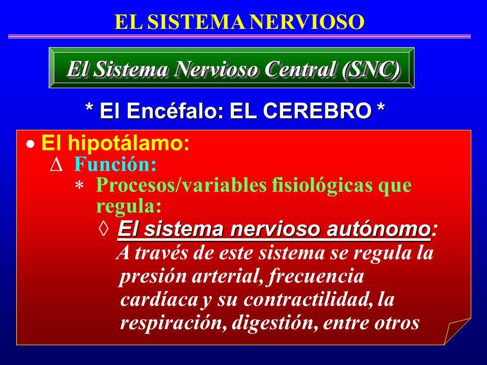 El hipotálamo: Función: Procesos/variables fisiológicas que regula: El sistema nervioso autónomo El sistema nervioso autónomo: A través de este sistem