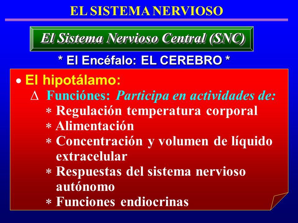 El hipotálamo: Funciónes: Participa en actividades de: Regulación temperatura corporal Alimentación Concentración y volumen de líquido extracelular Re