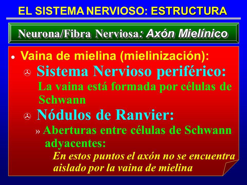 ESTRUCTURA EL SISTEMA NERVIOSO: ESTRUCTURA Neurona/Fibra Nerviosa : Axón Mielínico Vaina de mielina (mielinización): > Sistema Nervioso periférico: La