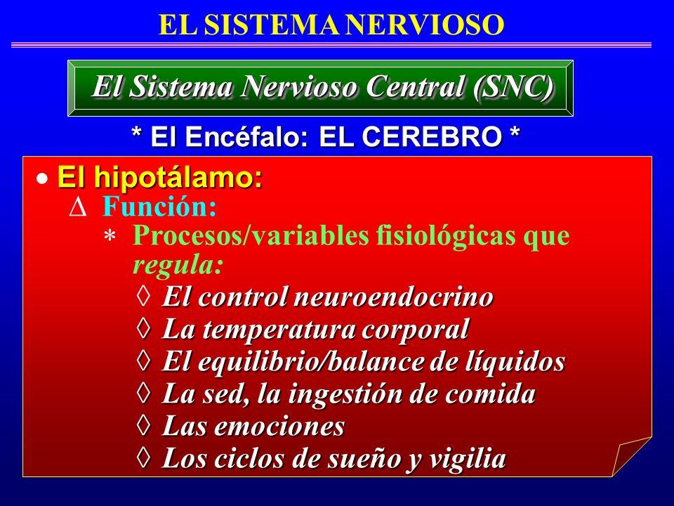 El hipotálamo: Función: Procesos/variables fisiológicas que regula: El control neuroendocrino La temperatura corporal La temperatura corporal El equil