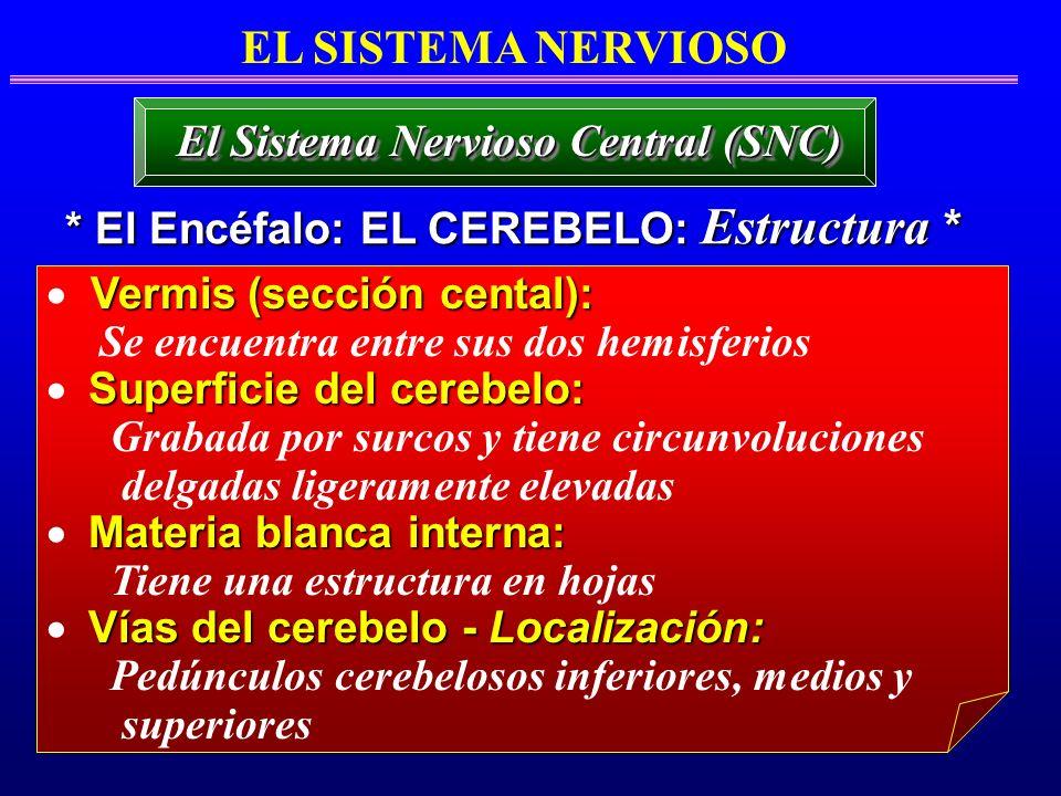 EL SISTEMA NERVIOSO * El Encéfalo: EL CEREBELO: Estructura * El Sistema Nervioso Central (SNC) Vermis (sección cental): Se encuentra entre sus dos hem