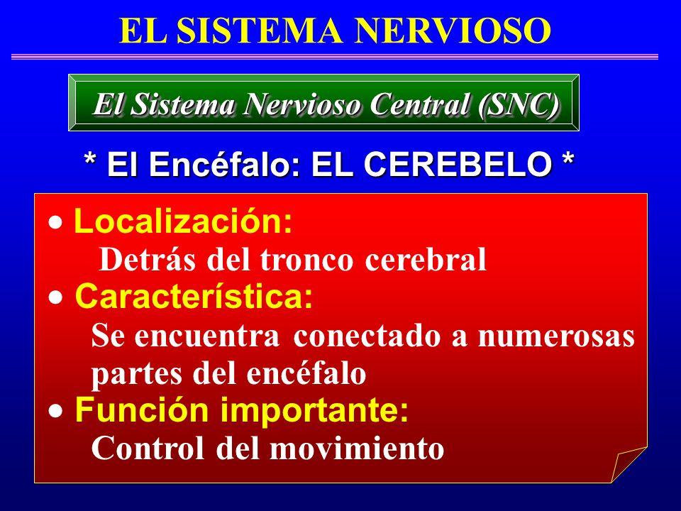 Localización: Detrás del tronco cerebral Característica: Se encuentra conectado a numerosas partes del encéfalo Función importante: Control del movimi