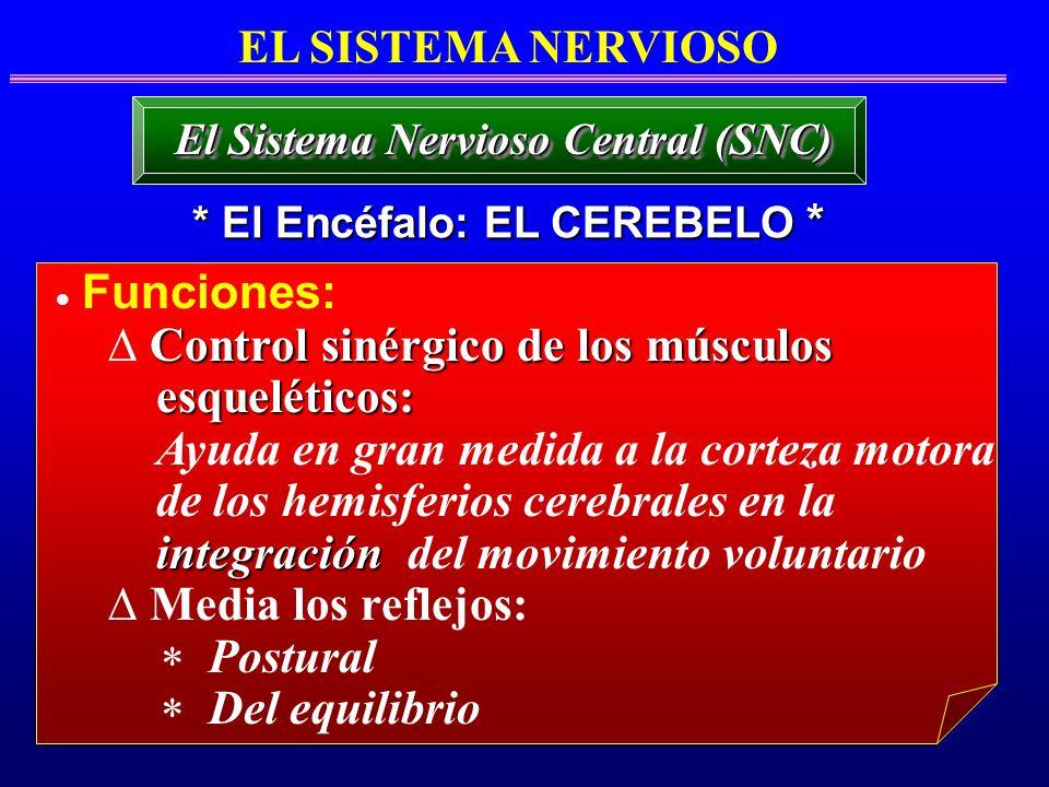 EL SISTEMA NERVIOSO * El Encéfalo: EL CEREBELO * El Sistema Nervioso Central (SNC) Funciones: Control sinérgico de los músculos esqueléticos: esquelét