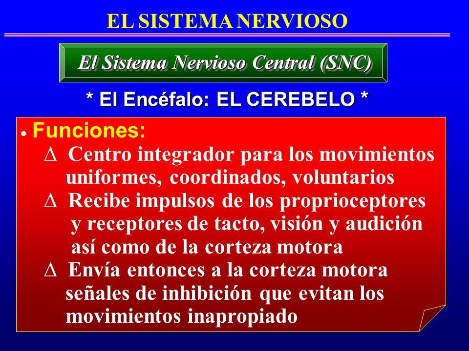 EL SISTEMA NERVIOSO * El Encéfalo: EL CEREBELO * El Sistema Nervioso Central (SNC) Funciones: Centro integrador para los movimientos uniformes, coordi