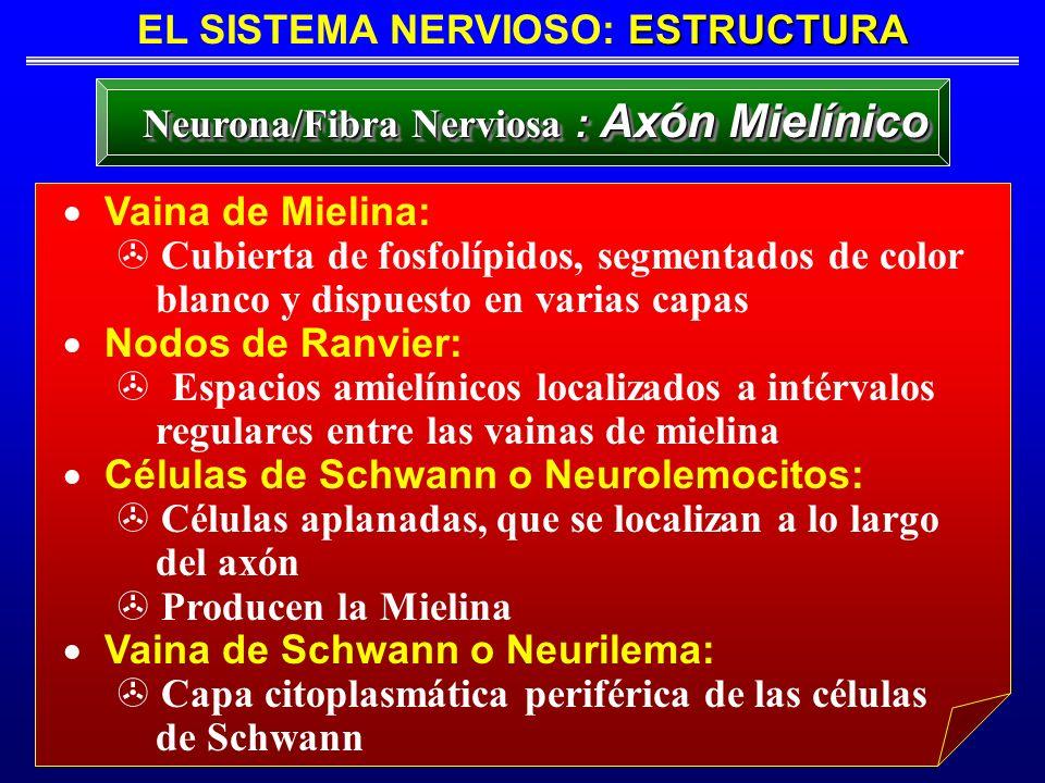 ESTRUCTURA EL SISTEMA NERVIOSO: ESTRUCTURA Neurona/Fibra Nerviosa : Axón Mielínico Vaina de Mielina: > Cubierta de fosfolípidos, segmentados de color