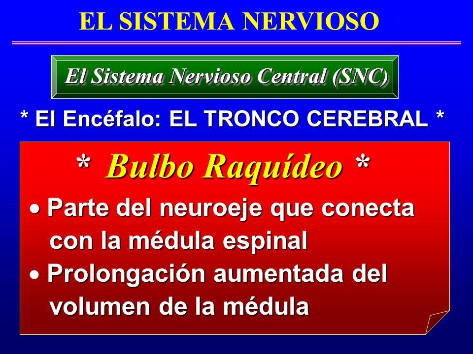 * Bulbo Raquídeo * Parte del neuroeje que conecta Parte del neuroeje que conecta con la médula espinal con la médula espinal Prolongación aumentada de