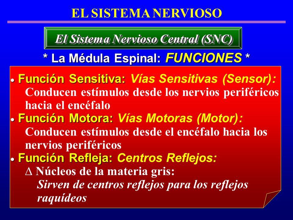 EL SISTEMA NERVIOSO * La Médula Espinal: FUNCIONES * El Sistema Nervioso Central (SNC) Función Sensitiva: Función Sensitiva: Vías Sensitivas (Sensor):