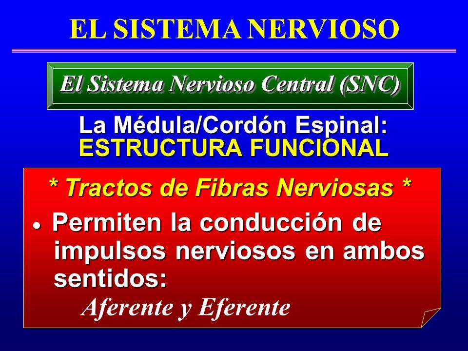 EL SISTEMA NERVIOSO La Médula/Cordón Espinal: La Médula/Cordón Espinal: ESTRUCTURA FUNCIONAL ESTRUCTURA FUNCIONAL El Sistema Nervioso Central (SNC) *