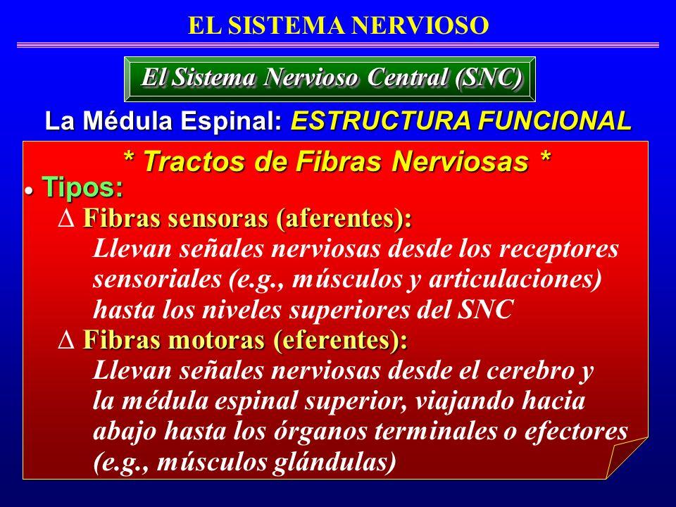 EL SISTEMA NERVIOSO La Médula Espinal: ESTRUCTURA FUNCIONAL El Sistema Nervioso Central (SNC) Tipos: Tipos: Fibras sensoras (aferentes): Llevan señale
