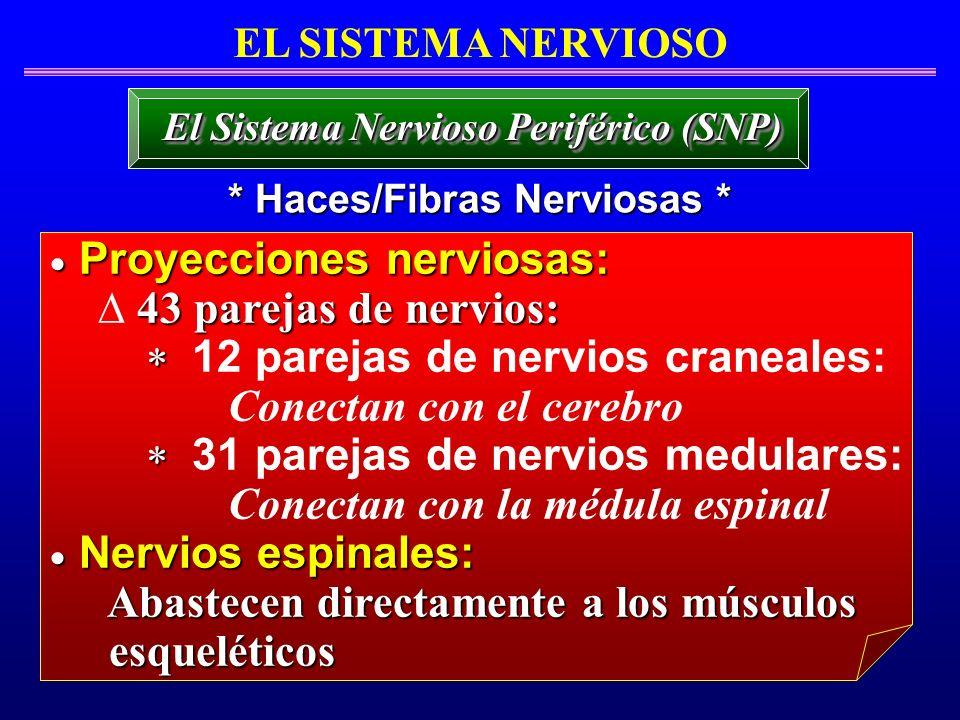 EL SISTEMA NERVIOSO * Haces/Fibras Nerviosas * El Sistema Nervioso Periférico (SNP) Proyecciones nerviosas: Proyecciones nerviosas: 43 parejas de nerv