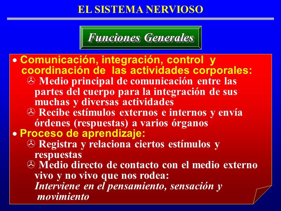 Integración Sensomotora EL SISTEMA NERVIOSO : Integración Sensomotora Eventos/Secuencia de Acontecimientos Estímulo Sensor Receptores Sensores (Neuronas Sensoras) Centro de Integración (Sistema Nervioso Central) (Vía Aferente) Médula Espinal Médula Superior o Encéfalo o Encéfalo (Tronco Cerebral, Cerebelo, Tálamo, Corteza Cerebral) Reflejo Motor Local Neuronas Motoras Efector (Órgano Objetivo, e,g., Músculo Esquelético) Respuesta (Vía Eferente) Interpretación Información de la Entrada Sensora