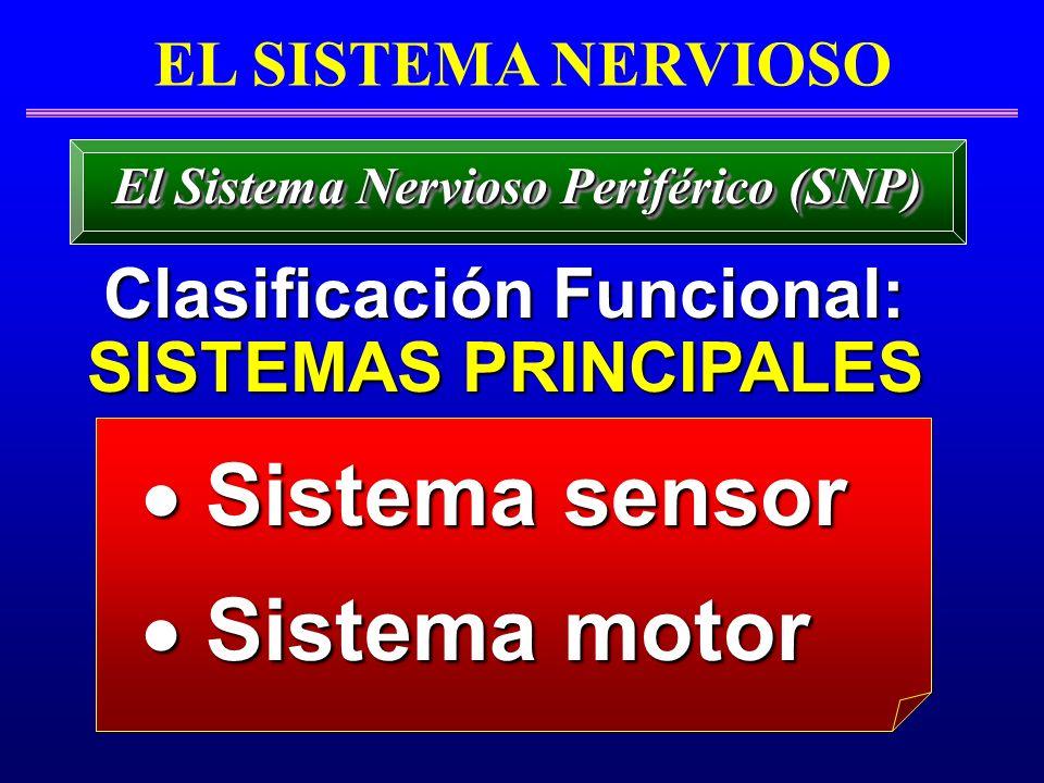 EL SISTEMA NERVIOSO Clasificación Funcional: Clasificación Funcional: SISTEMAS PRINCIPALES SISTEMAS PRINCIPALES El Sistema Nervioso Periférico (SNP) S