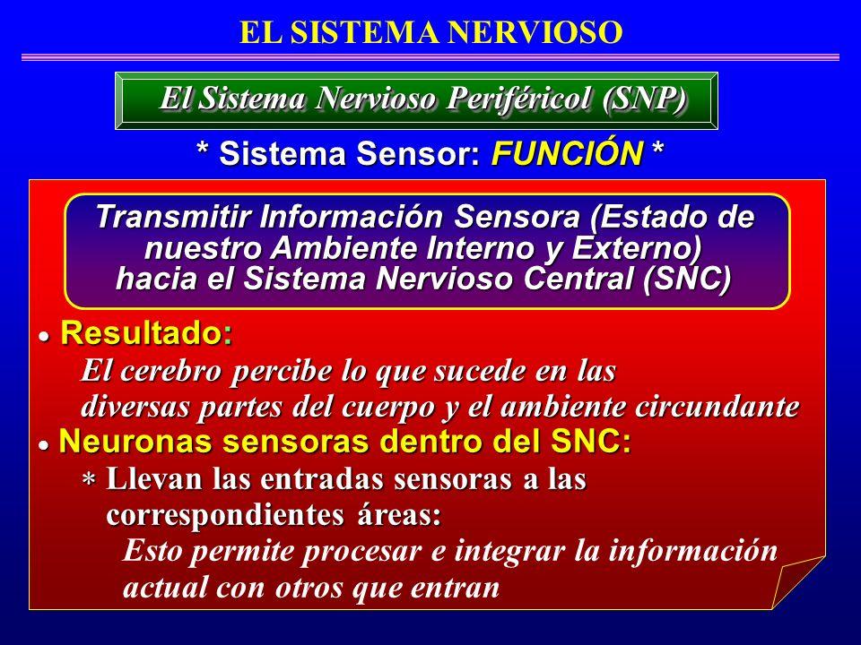 EL SISTEMA NERVIOSO * Sistema Sensor: FUNCIÓN * El Sistema Nervioso Periféricol (SNP) Resultado: Resultado: El cerebro percibe lo que sucede en las di