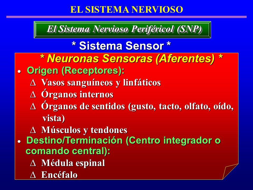 EL SISTEMA NERVIOSO * Sistema Sensor * El Sistema Nervioso Periféricol (SNP) Origen (Receptores): Origen (Receptores): Vasos sanguíneos y linfáticos V
