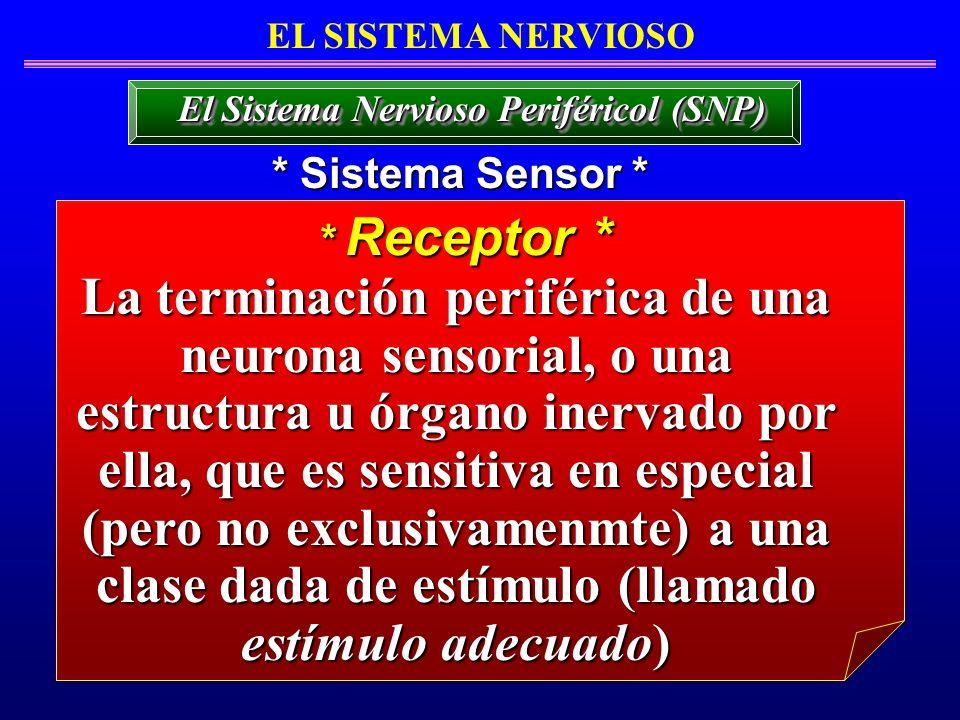 EL SISTEMA NERVIOSO * Sistema Sensor * El Sistema Nervioso Periféricol (SNP) * Receptor * La terminación periférica de una neurona sensorial, o una es