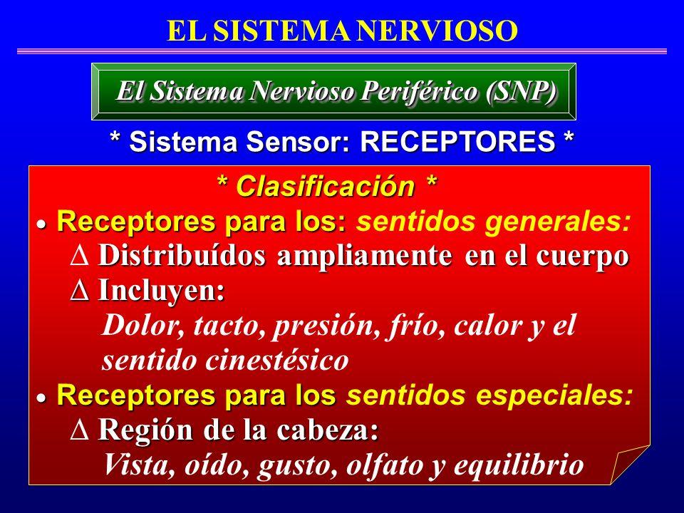 EL SISTEMA NERVIOSO * Sistema Sensor: RECEPTORES * El Sistema Nervioso Periférico (SNP) Receptores para los: Receptores para los: sentidos generales: