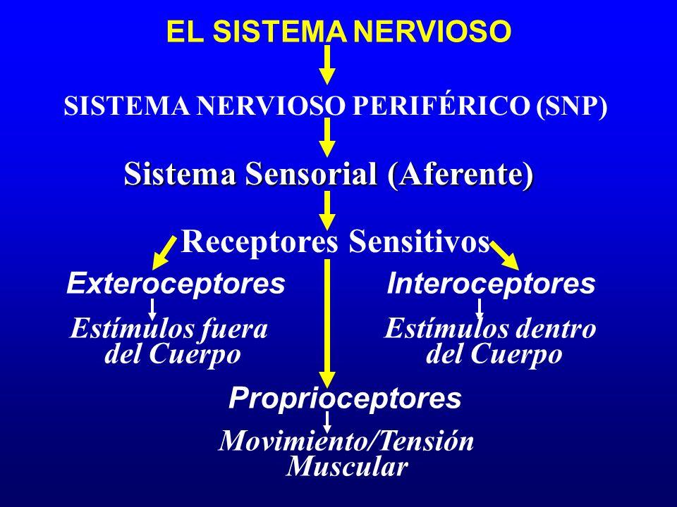 EL SISTEMA NERVIOSO Sistema Sensorial (Aferente) Proprioceptores SISTEMA NERVIOSO PERIFÉRICO (SNP) Receptores Sensitivos ExteroceptoresInteroceptores