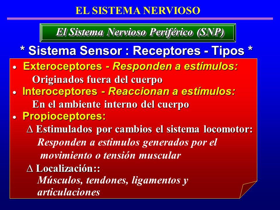 EL SISTEMA NERVIOSO * Sistema Sensor : Receptores - Tipos * El Sistema Nervioso Periférico (SNP) Exteroceptores - Responden a estímulos: Exteroceptore