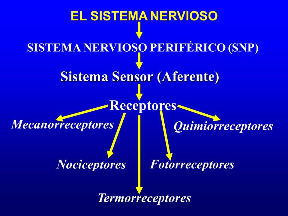 EL SISTEMA NERVIOSO Sistema Sensor (Aferente) Mecanorreceptores SISTEMA NERVIOSO PERIFÉRICO (SNP) Receptores Quimiorreceptores Termorreceptores Nocice