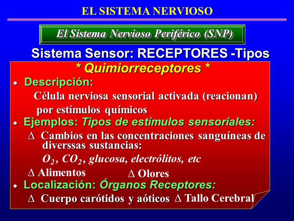 EL SISTEMA NERVIOSO Sistema Sensor: RECEPTORES -Tipos El Sistema Nervioso Periférico (SNP) Descripción: Descripción: Célula nerviosa sensorial activad