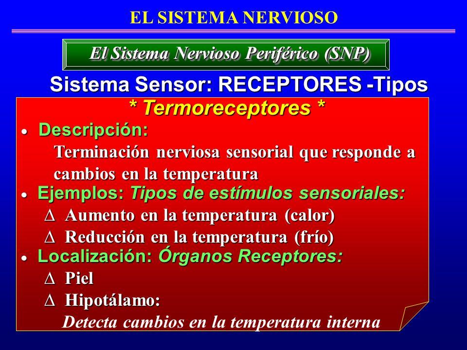 EL SISTEMA NERVIOSO Sistema Sensor: RECEPTORES -Tipos El Sistema Nervioso Periférico (SNP) Descripción: Descripción: Terminación nerviosa sensorial qu