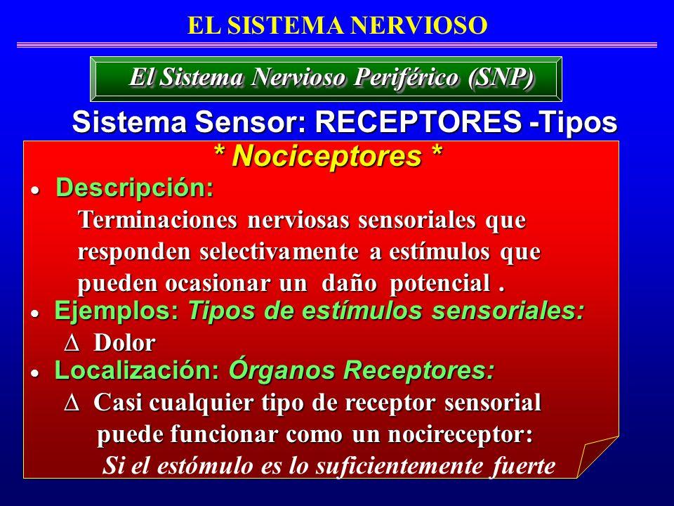 EL SISTEMA NERVIOSO Sistema Sensor: RECEPTORES -Tipos El Sistema Nervioso Periférico (SNP) Descripción: Descripción: Terminaciones nerviosas sensorial