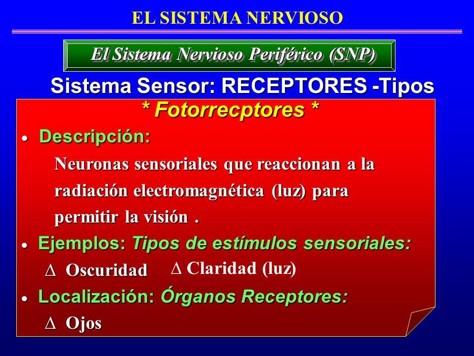 EL SISTEMA NERVIOSO Sistema Sensor: RECEPTORES -Tipos El Sistema Nervioso Periférico (SNP) Descripción: Descripción: Neuronas sensoriales que reaccion