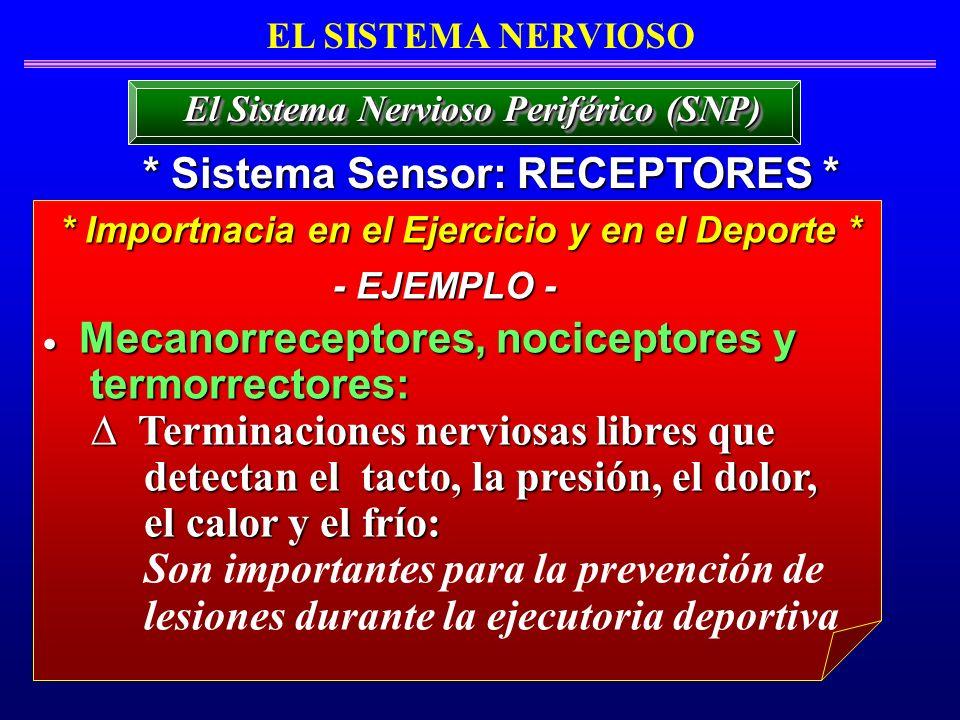 EL SISTEMA NERVIOSO * Sistema Sensor: RECEPTORES * El Sistema Nervioso Periférico (SNP) Mecanorreceptores, nociceptores y Mecanorreceptores, nocicepto