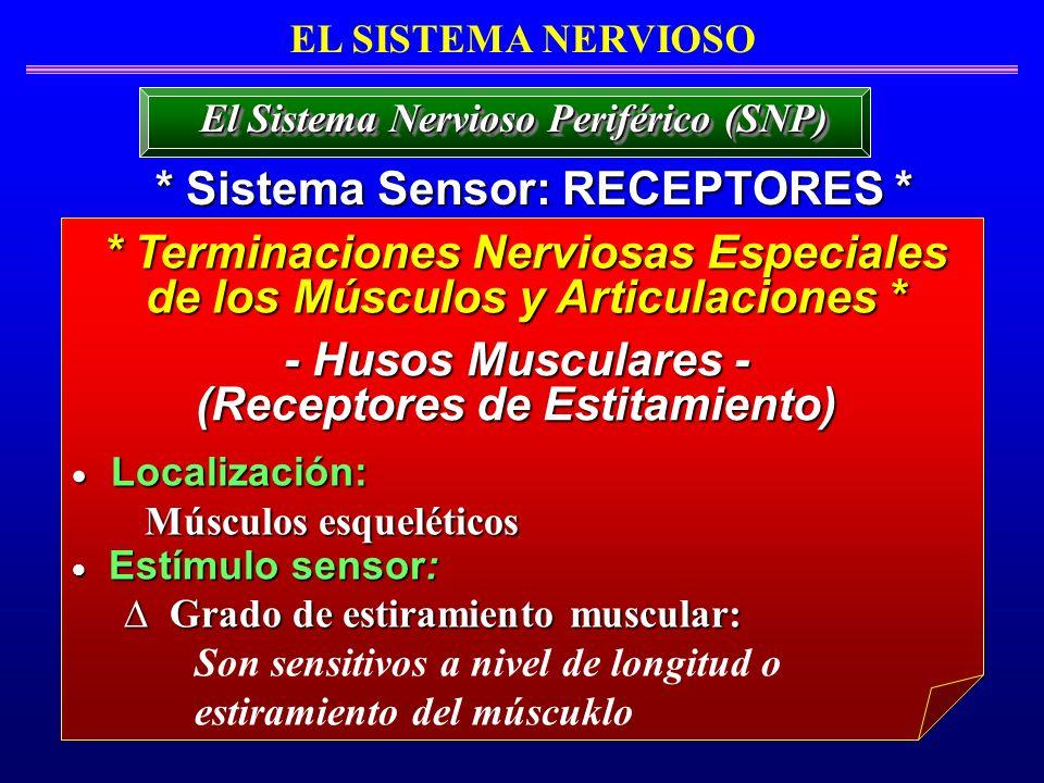 EL SISTEMA NERVIOSO * Sistema Sensor: RECEPTORES * El Sistema Nervioso Periférico (SNP) * Terminaciones Nerviosas Especiales de los Músculos y Articul