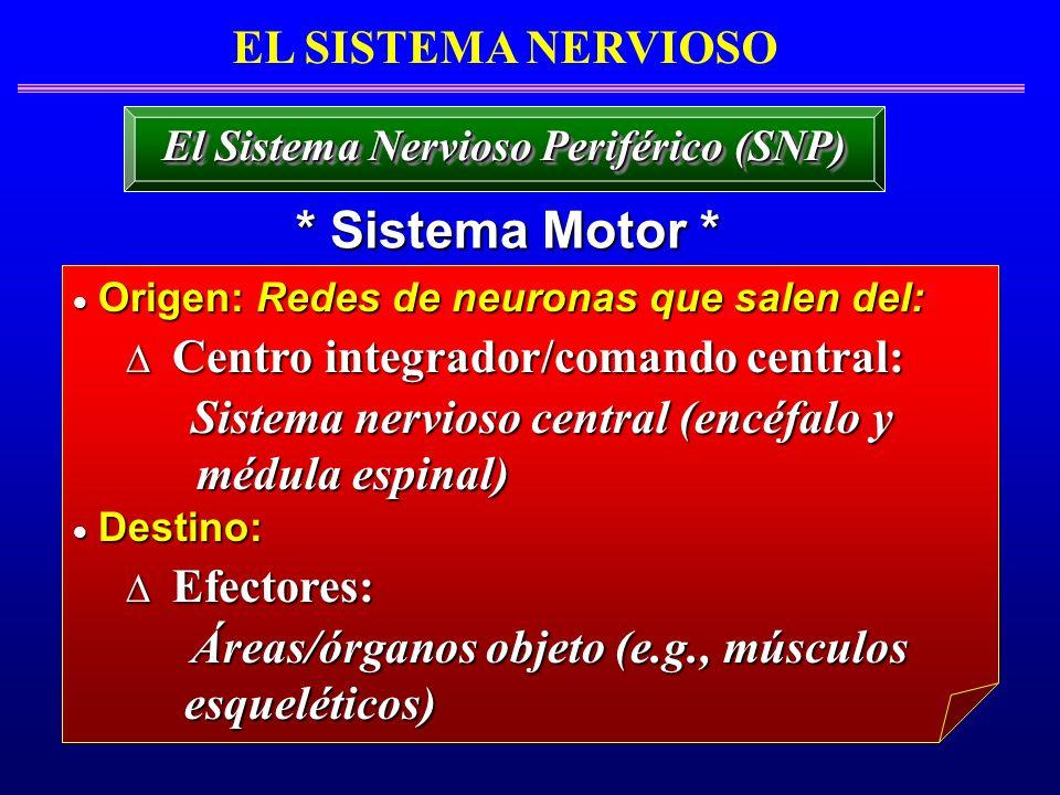 EL SISTEMA NERVIOSO * Sistema Motor * El Sistema Nervioso Periférico (SNP) Origen: Redes de neuronas que salen del: Origen: Redes de neuronas que sale