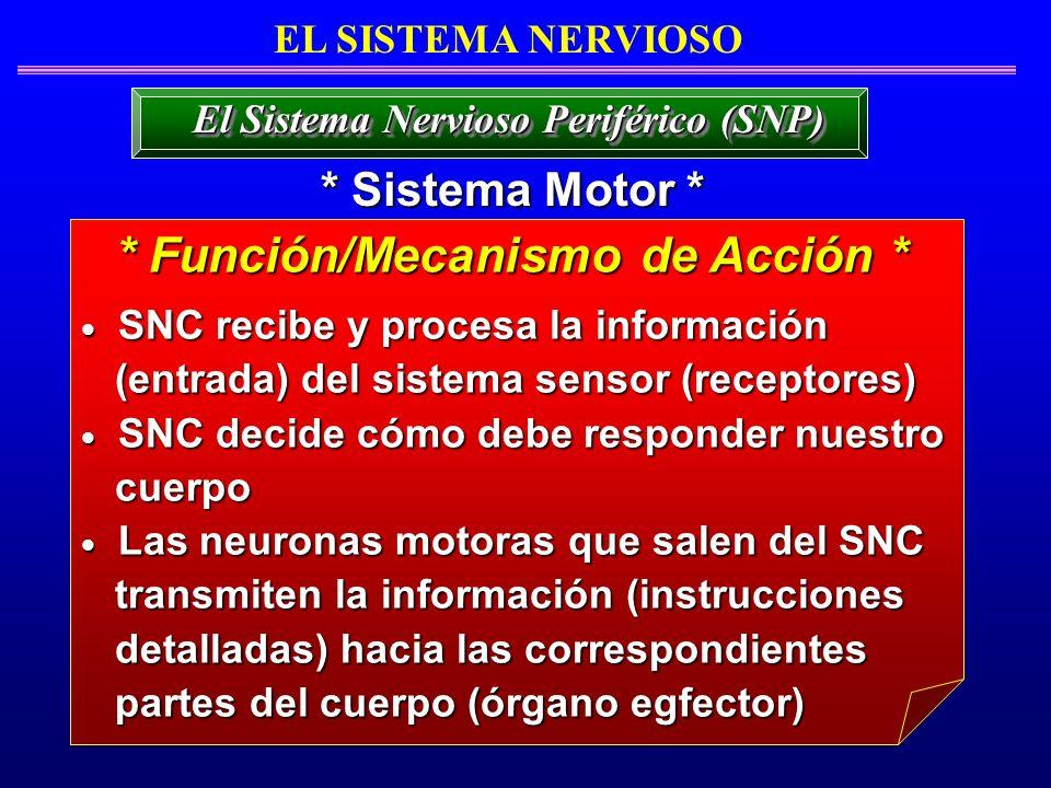 EL SISTEMA NERVIOSO * Sistema Motor * El Sistema Nervioso Periférico (SNP) SNC recibe y procesa la información SNC recibe y procesa la información (en