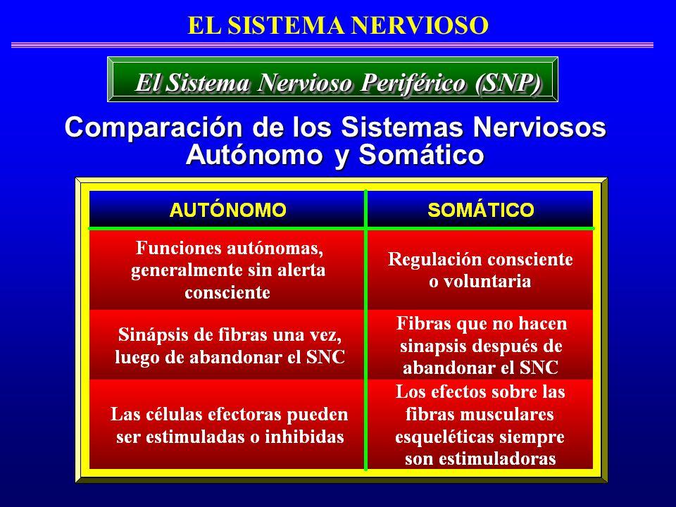 EL SISTEMA NERVIOSO Comparación de los Sistemas Nerviosos Autónomo y Somático El Sistema Nervioso Periférico (SNP)