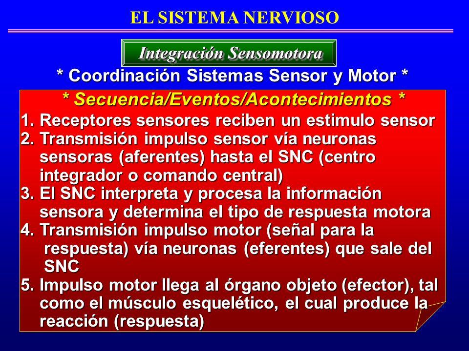1. Receptores sensores reciben un estimulo sensor 2. Transmisión impulso sensor vía neuronas sensoras (aferentes) hasta el SNC (centro sensoras (afere