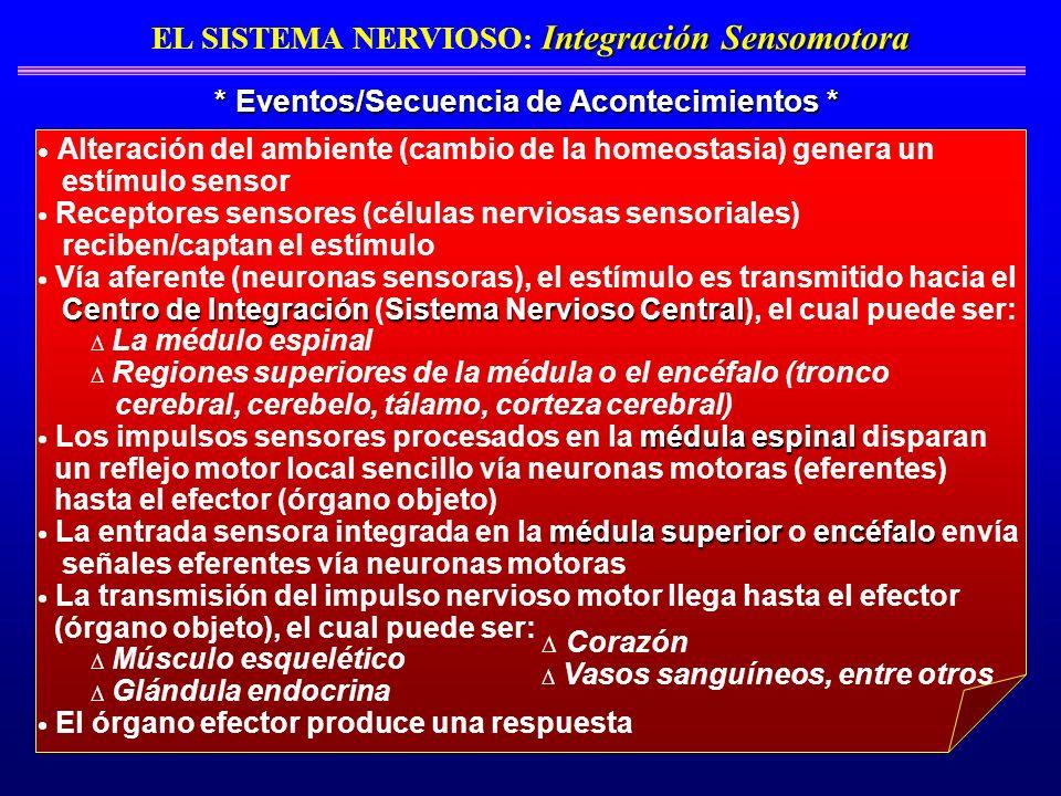 Integración Sensomotora EL SISTEMA NERVIOSO : Integración Sensomotora * Eventos/Secuencia de Acontecimientos * Alteración del ambiente (cambio de la h