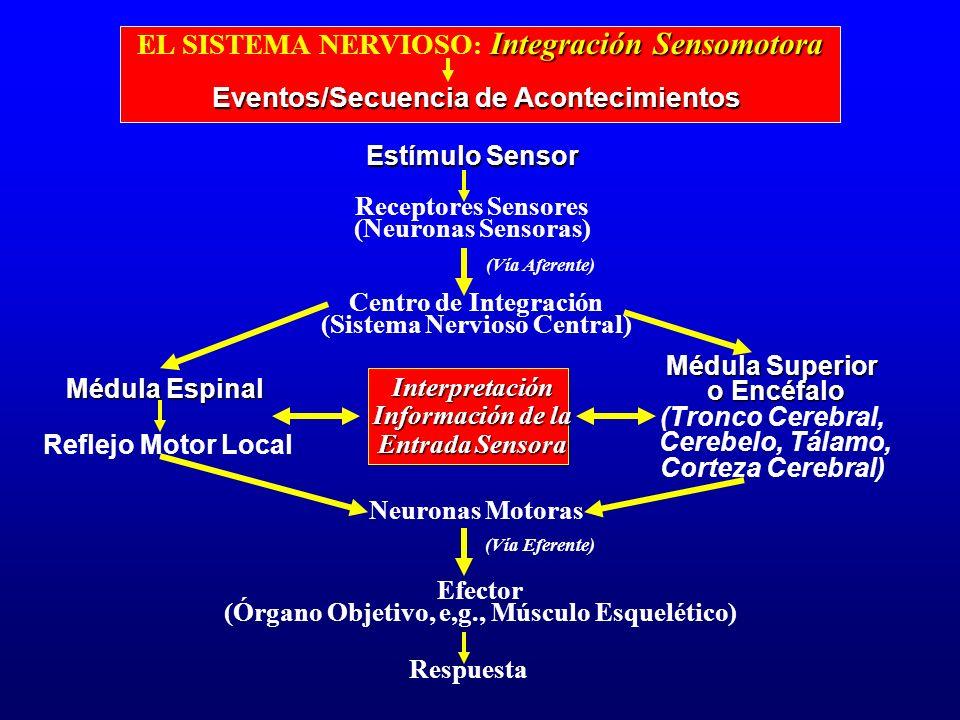 Integración Sensomotora EL SISTEMA NERVIOSO : Integración Sensomotora Eventos/Secuencia de Acontecimientos Estímulo Sensor Receptores Sensores (Neuron