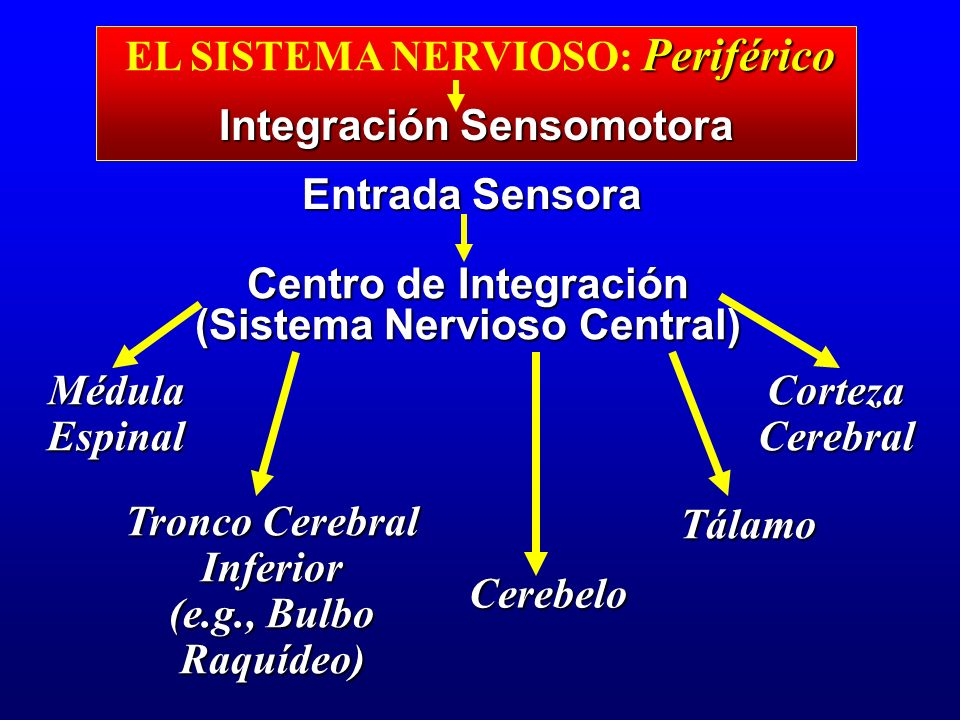 Periférico EL SISTEMA NERVIOSO: Periférico Integración Sensomotora Entrada Sensora Centro de Integración (Sistema Nervioso Central) MédulaEspinalCorte