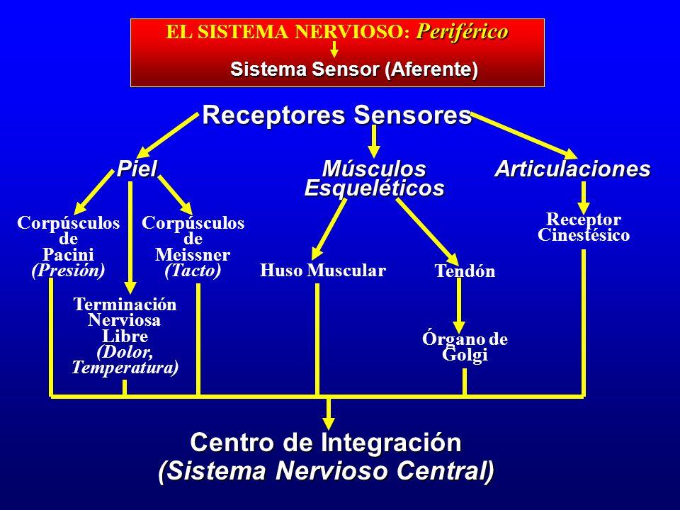 Periférico EL SISTEMA NERVIOSO : Periférico Sistema Sensor (Aferente) Receptores Sensores Piel Corpúsculos de Pacini (Presión) MúsculosEsqueléticosArt