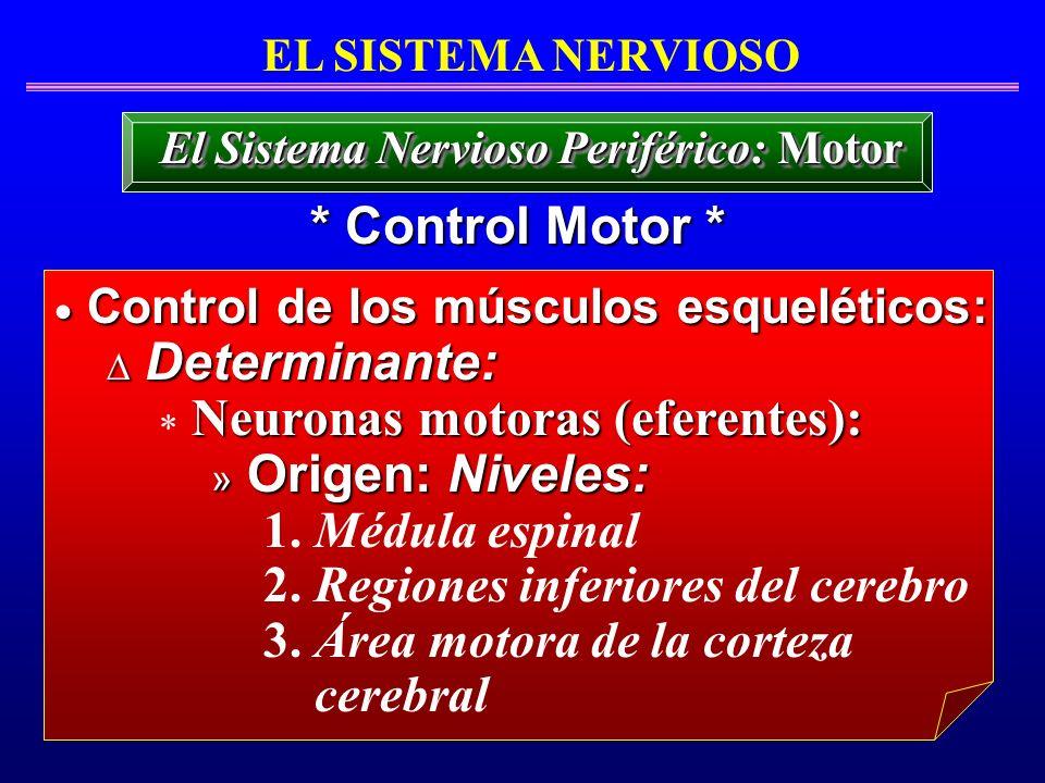 EL SISTEMA NERVIOSO * Control Motor * El Sistema Nervioso Periférico: Motor Control de los músculos esqueléticos: Control de los músculos esqueléticos