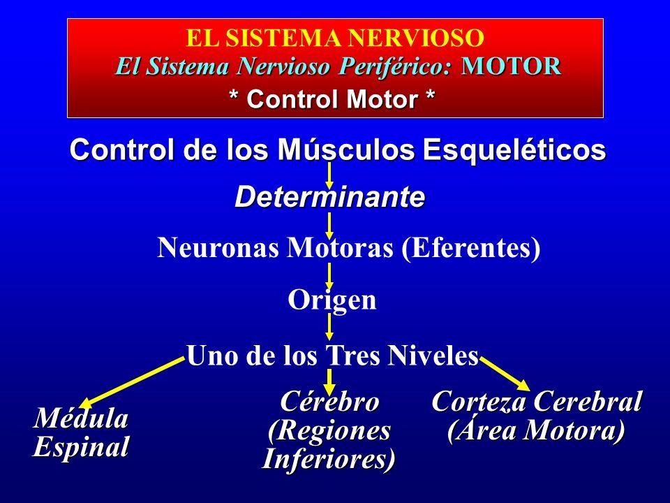 El Sistema Nervioso Periférico: MOTOR EL SISTEMA NERVIOSO El Sistema Nervioso Periférico: MOTOR Control de los Músculos Esqueléticos Determinante Neur