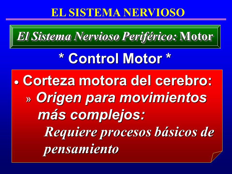 EL SISTEMA NERVIOSO * Control Motor * El Sistema Nervioso Periférico: Motor Corteza motora del cerebro: Corteza motora del cerebro: » Origen para movi