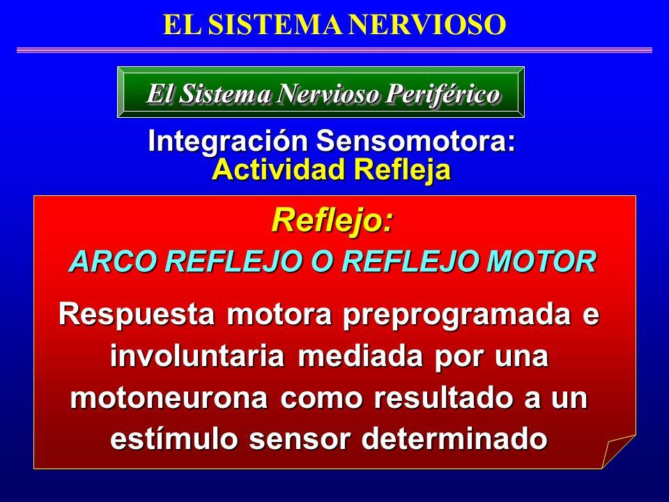 EL SISTEMA NERVIOSO Integración Sensomotora: Actividad Refleja El Sistema Nervioso Periférico Respuesta motora preprogramada e involuntaria mediada po