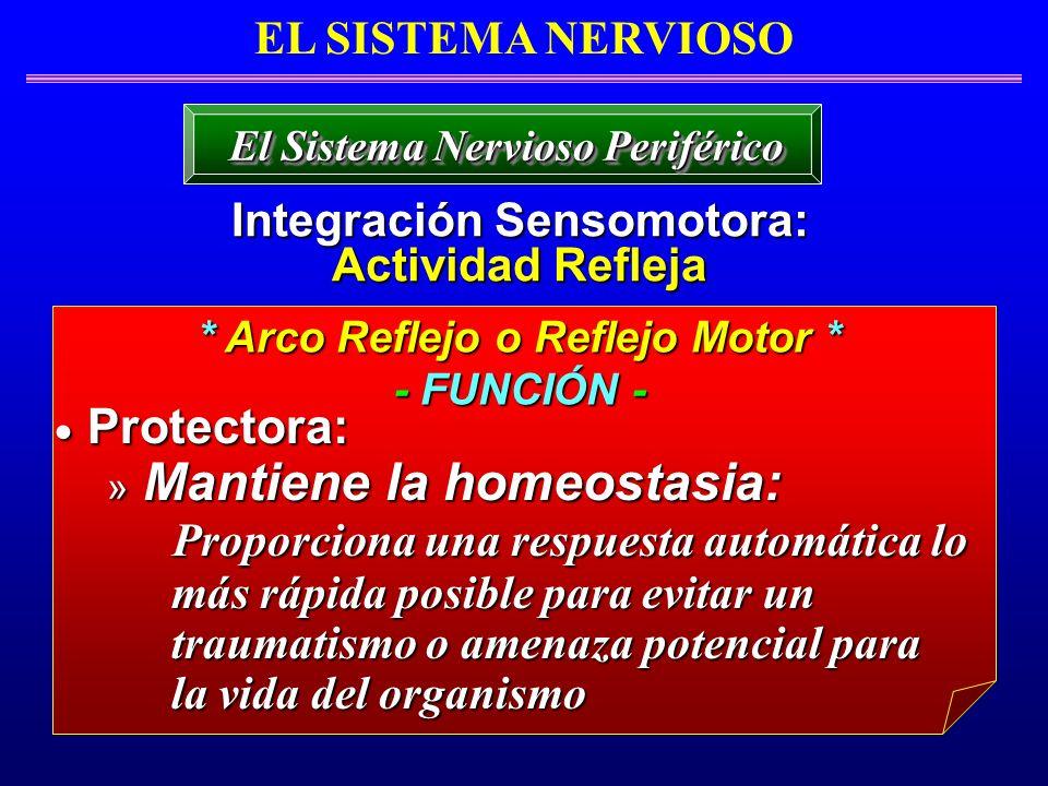 EL SISTEMA NERVIOSO Integración Sensomotora: Actividad Refleja El Sistema Nervioso Periférico * Arco Reflejo o Reflejo Motor * - FUNCIÓN - Protectora: