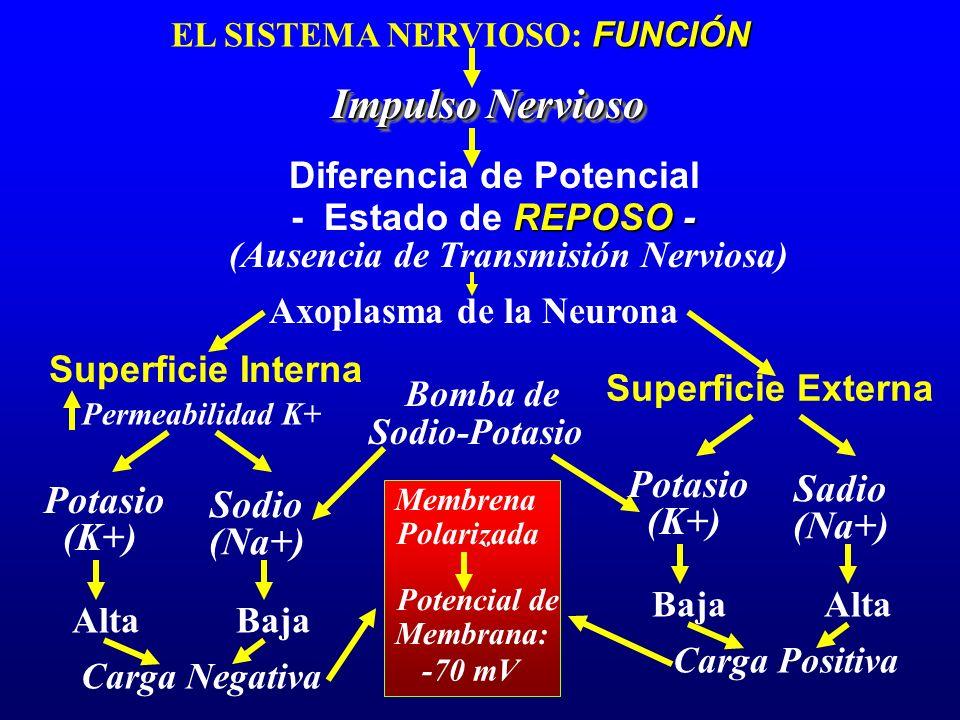 FUNCIÓN EL SISTEMA NERVIOSO: FUNCIÓN Impulso Nervioso Diferencia de Potencial REPOSO - - Estado de REPOSO - Axoplasma de la Neurona Superficie Interna