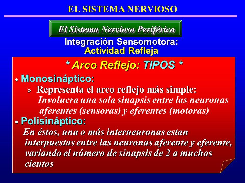 EL SISTEMA NERVIOSO Integración Sensomotora: Actividad Refleja El Sistema Nervioso Periférico Monosináptico: Monosináptico: » Representa el arco refle