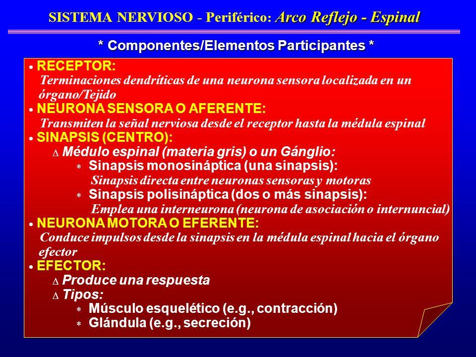 Arco Reflejo - Espinal SISTEMA NERVIOSO - Periférico : Arco Reflejo - Espinal * Componentes/Elementos Participantes * RECEPTOR: Terminaciones dendríti